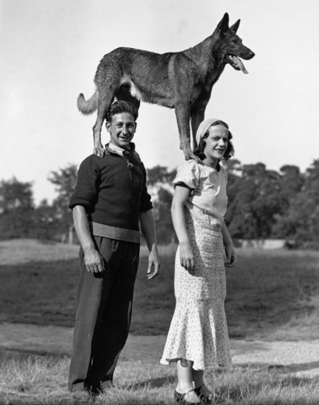 German shepherd standing on peoples shoulders