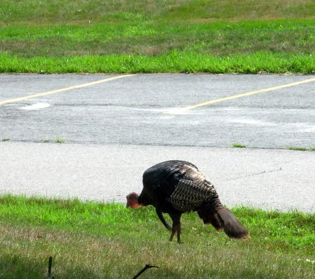 Turkey in parking lot in JP, Boston
