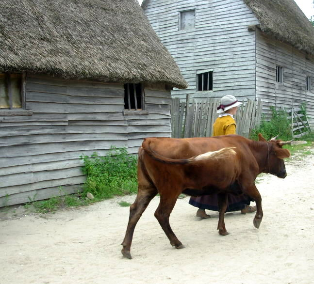 Pilgrim leading a cow