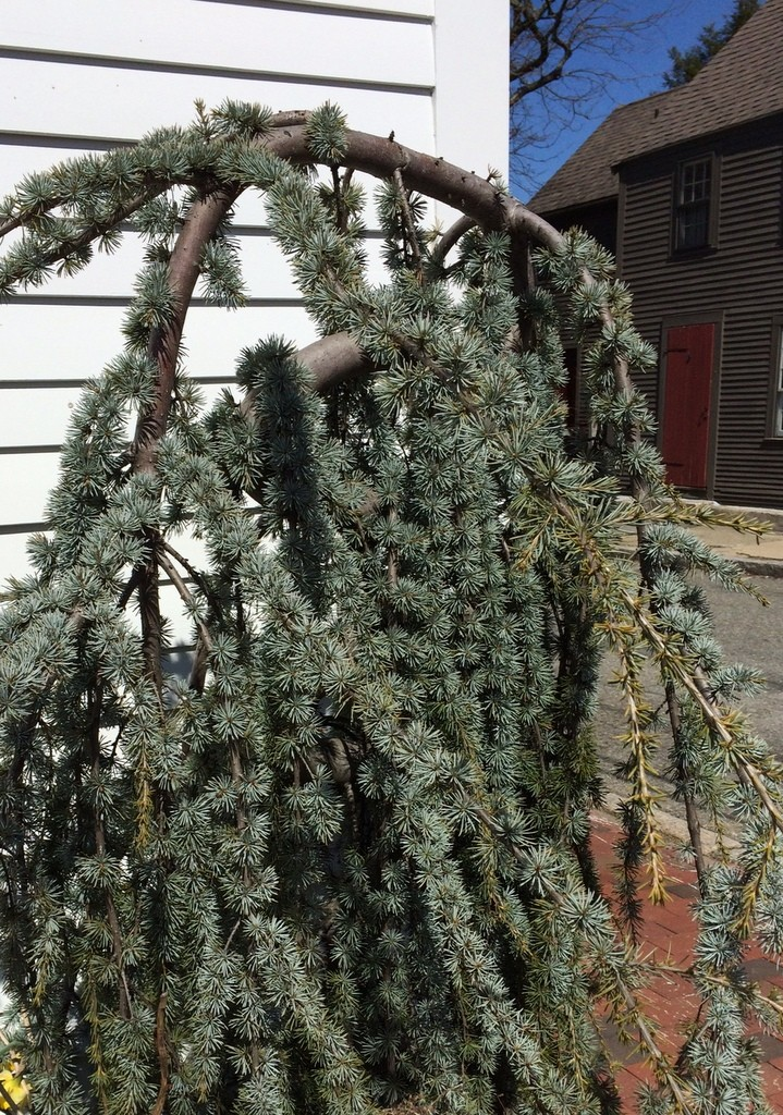 funky evergreen, Newburyport MA
